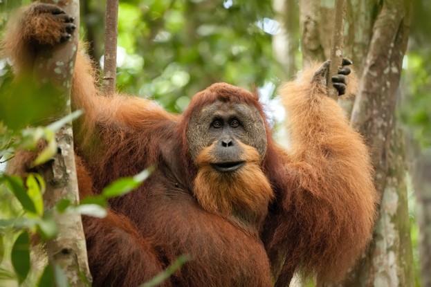 Wild Sumatran orangutan hanging on liana and looking at camera