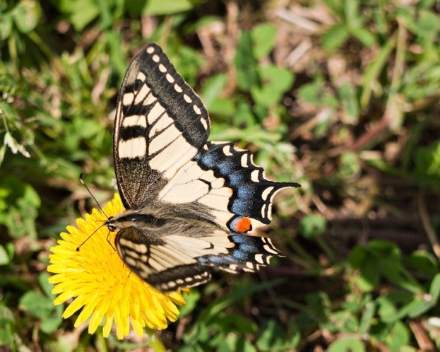 swallowtail, butterfly,insect, beautiful, dandelion, flower, yellow, macro, closeup, feeding, differential focus, english, european, spring, papilio machaon, red, blue, mouthparts,