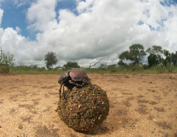Dung beetles are worth en estimated $380m.