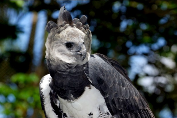 HARPY EAGLE (HARPIA HARPYJA), Captive animal, Panama Central America