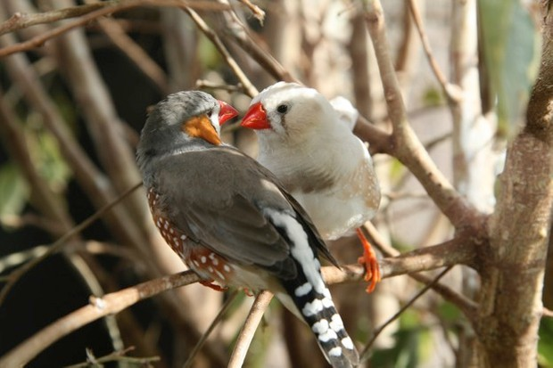 Two Zebra Finches gaze at each other as love birds.  The birds are posed in a natural habitat background.