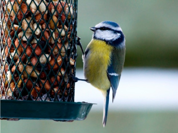 Bluetit sitting on a birdfeeder with peanuts
