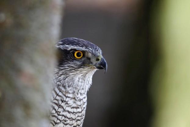 Goshawk, Accipiter gentilis, single bird head shot, captive, April 2011