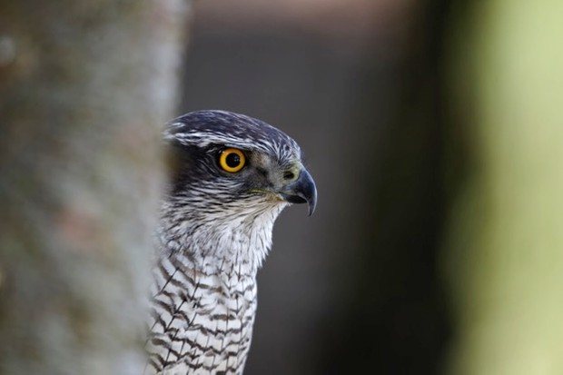 Goshawk, Accipiter gentilis, single bird head shot, captive, April 2011