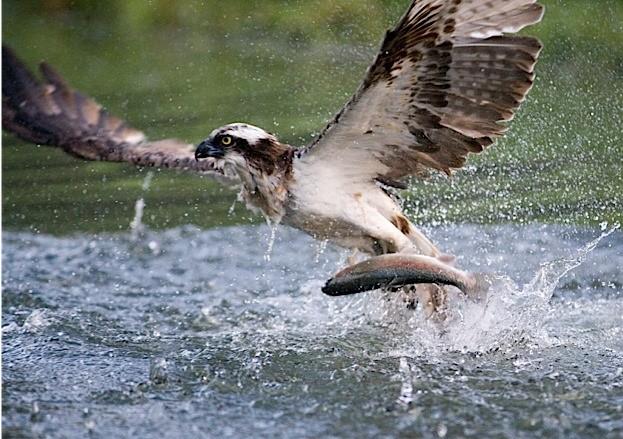 Osprey, Pandion haliaetus, single bird diving for fish, Finland