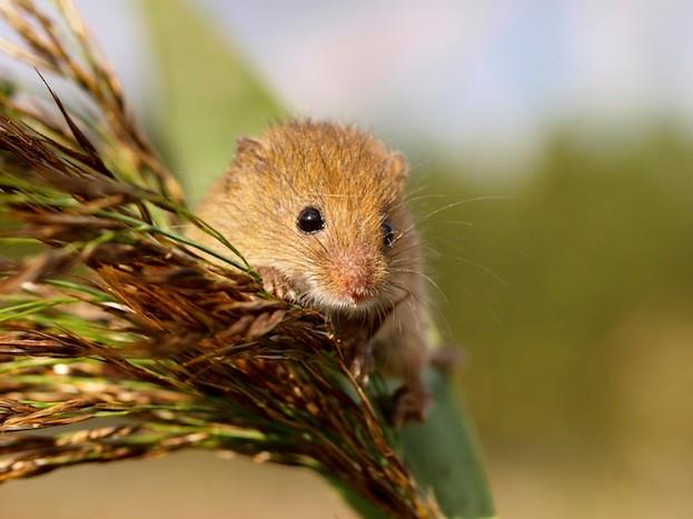 Harvesting Mouse (Micromys minutus) in it's Natural Habitat