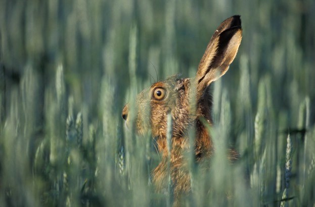 Brown hare, Lepus europaeus, single mammal on grass