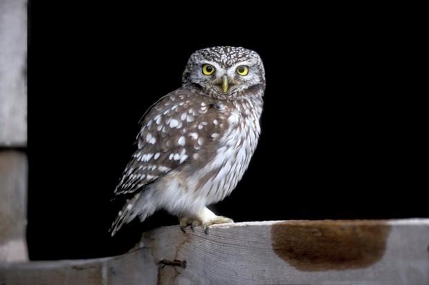 Little owl, Athene noctua, single bird on barn door