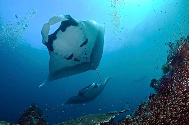 A view from below as two giant oceanic manta rays (Manta birostris) soar overhead. Blue Magjic cleaning station, Raja Ampat, Indonesia
