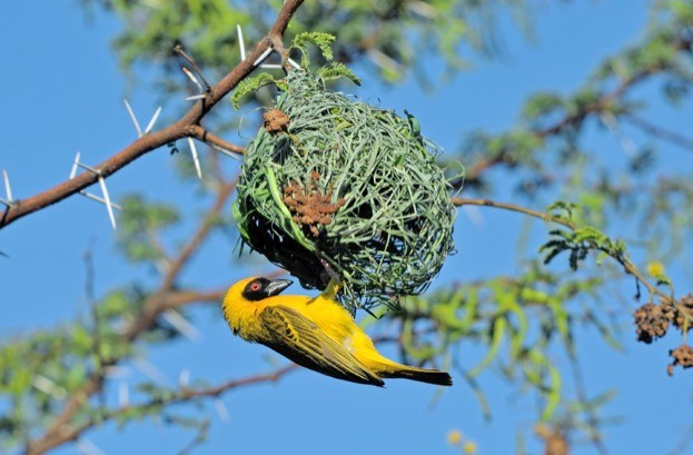 Male Southern Masked Weaver in breading colours building nest