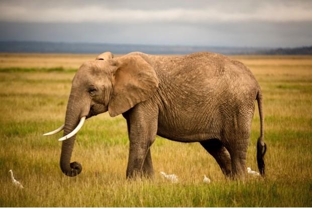 21 Amazing Elephant Facts  African Elephant Facts -6868