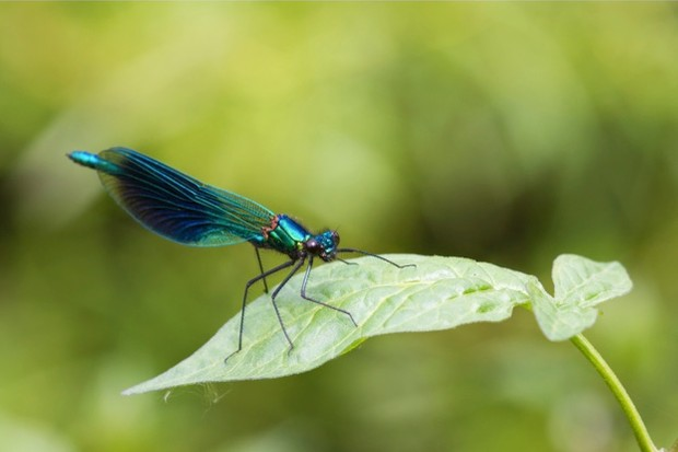 Reproduction is a top priority for banded demoiselles as they only live a few weeks as winged adults.