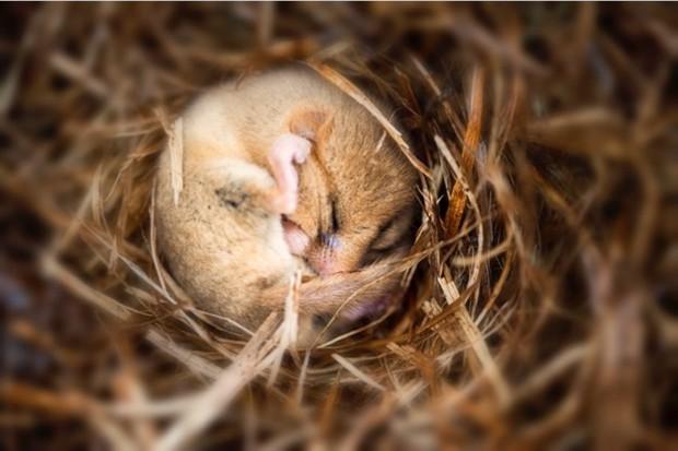 A hibernating dormouse. © Sasha Fox Walters/iStock
