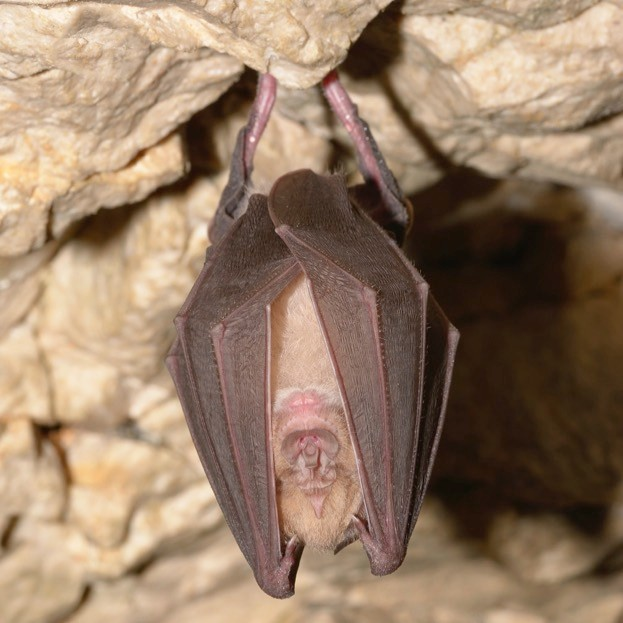 Horseshoe bats (this is a greater) hang freely upside-down at roosts, but most other British bats cling to surfaces.