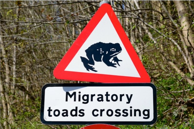 SHIREBROOK, ENGLAND - APRIL 20: A road sign warns drivers to beware of migratory toads crossing the road. In Shirebrook, Nottinghamshire, England. On 20th April 2015.