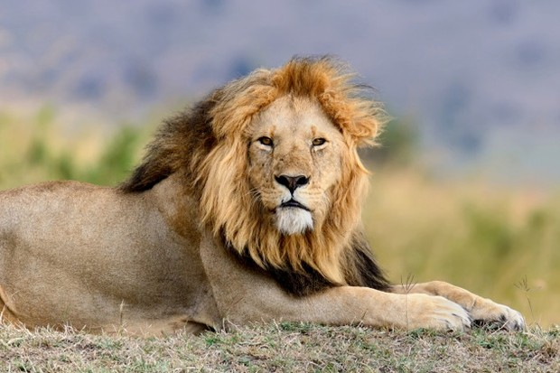 African lions will be given better protection as a result of the US decision.