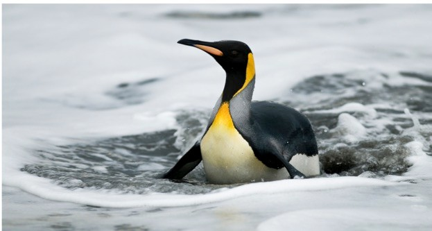 Do king penguins need to exercise in order to remain in shape for swimming? We just don't know... © Rich Lindie