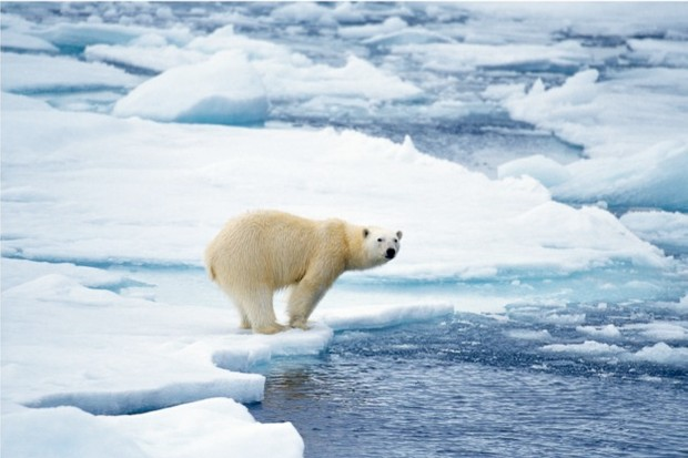 Polar bears are entirely dependent on sea ice to hunt their favourite food – ringed and bearded seals.