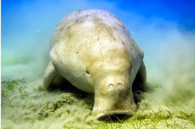 Due to its vulnerability, the dugong is one of 930 species listed in CITES' Appendix I. © Andrea Izzotti