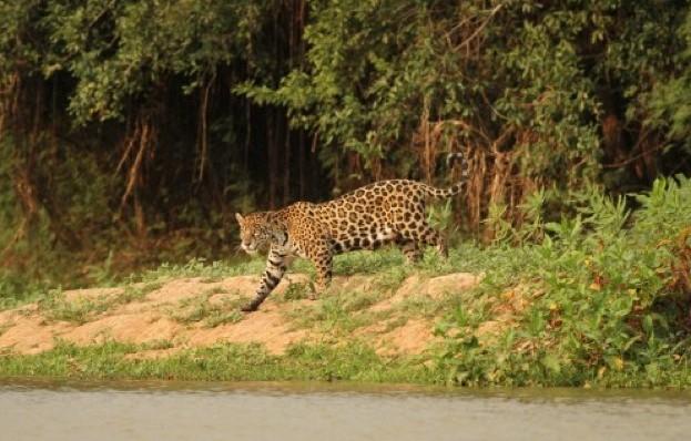 jaguar_623-_CL-c832186