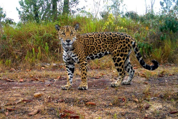 Although they used to range as far north as California and Texas in the USA, jaguars now only survive in Central and South America, from Mexico to north Argentina. © Claudia Wultsch