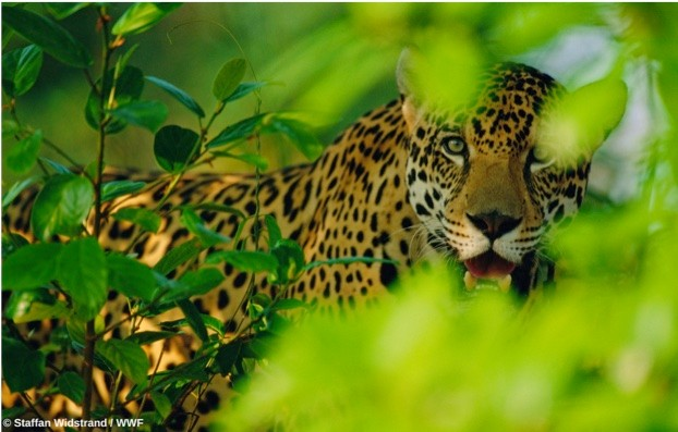 jaguar_staffanwidstrand_wwf_623-3e9261f