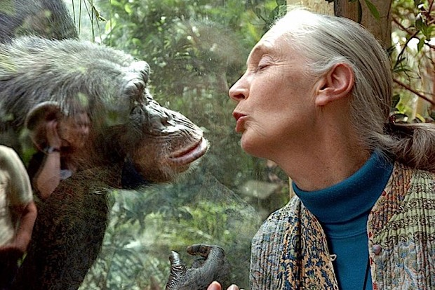 Jane Goodall communicates with a chimpanzee called Nana at Magdeburg Zoo, Germany. © Jens Schlueter/Getty