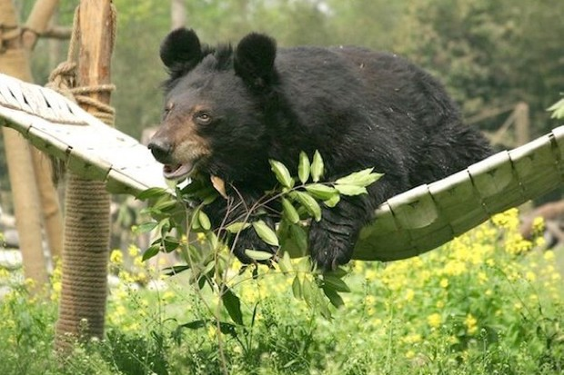 Jasper, one of the moon bears rescued from a bear bile farm, now thriving in his sanctuary environment in Chengdu, China. © Animals Asia