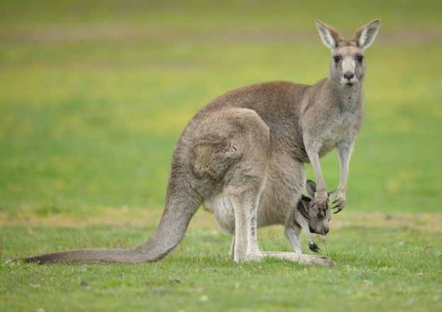 Female kangaroo and joey © John Carnemolla / iStock