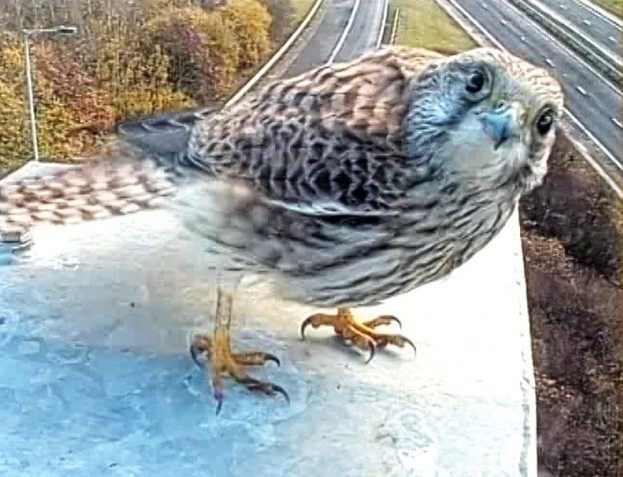 The kestrel caught on camera © Highways England