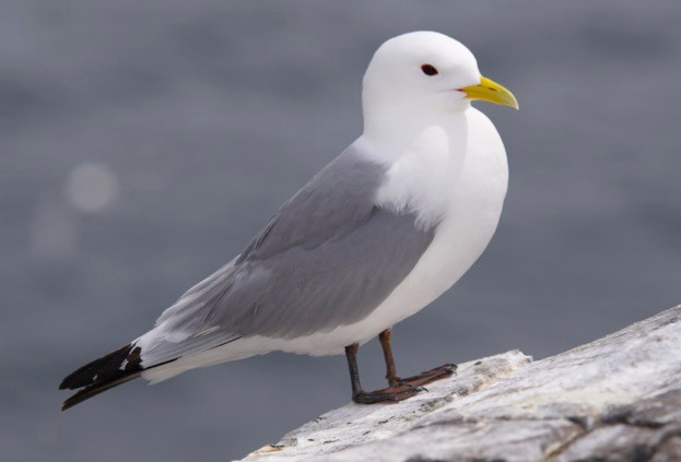 Kittiwakes are one of Britain's fastest-declining seabirds. © jeromewhittingham/iStock