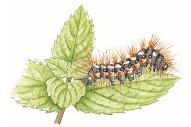 Knot grass moth caterpillar
