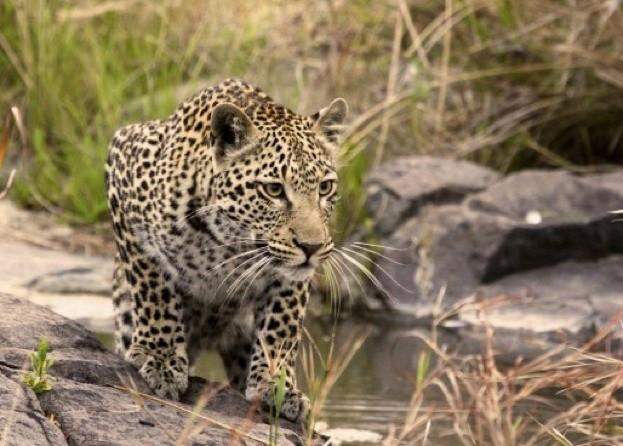 leopard_HaydenSmith_623-fce1683