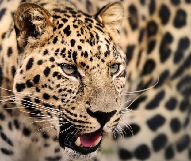 Leopards are one of the cat species which can roar © Peter Jepson