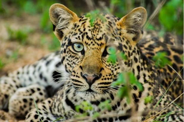 leopard_ifaw_623-5ed6052