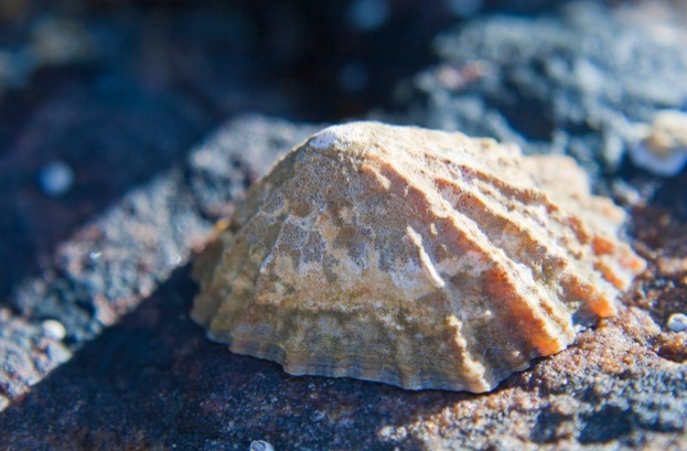 Close-up of a Limpet