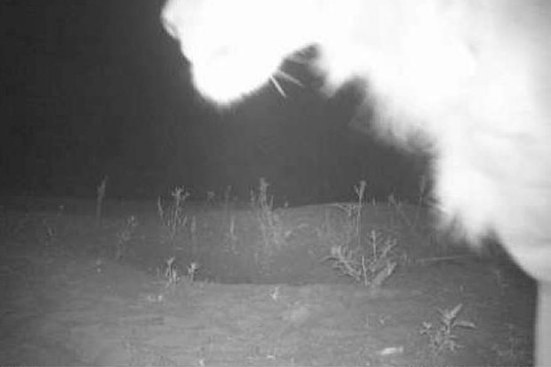 It won't win many prizes, but this remote camera image of lion in Alatash NP is extremely valuable. © WildCRU