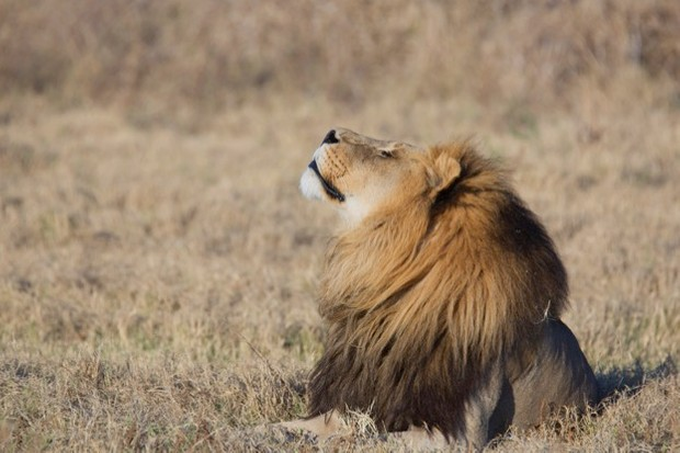 Lions are a popular target among trophy hunters. © Pedro Bige / iStock