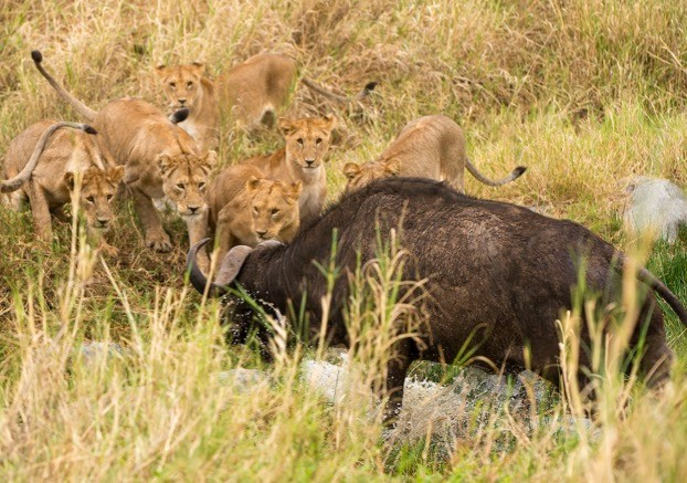 Lions don't just take wild prey such as buffalo –they also kill livestock, putting them at odds with humans. © Daniel Rosengren