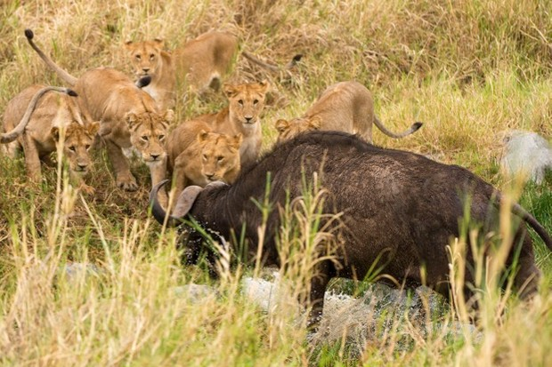 Lions don't just take wild prey such as buffalo – they also kill livestock, putting them at odds with humans. © Daniel Rosengren