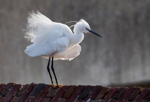 Little egret Egretta garzetta, standing on brick wall with fluffed up feathers, Hampshire, May