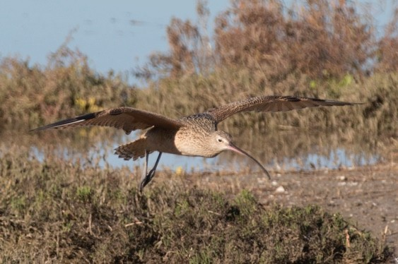 Long-Billed Curlew landing (Numenius americanus) Back Bay Reserve,California