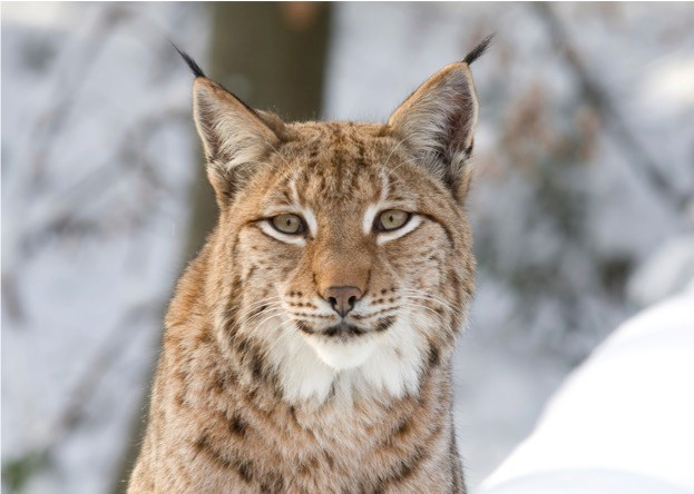 Reintroducing lynx to Britain could bring economic benefits to the area they are released in. ©hfoxfoto/istock