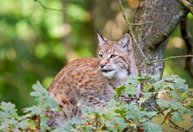 Lynx: coming to a forest near you?