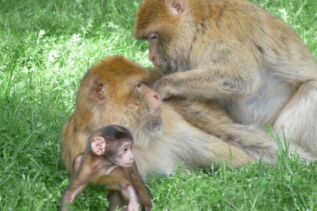 macaque_bonaventuramajolo_623-7458ce5