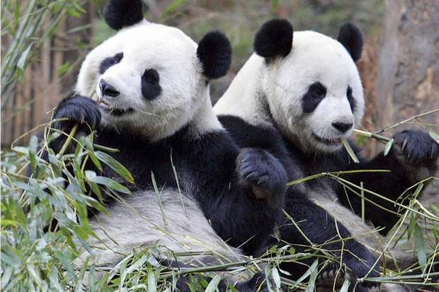 The latest Red List update sees the giant panda move from Endangered to Vulnerable. ©Lui Jin/Stringer