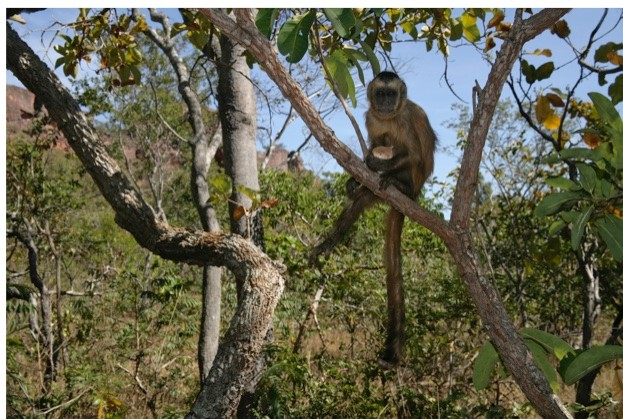The stones used by capuchins as hammers can weigh over 1kg, though the monkeys themselves weigh less than 4kg © MikeLane45/iStock