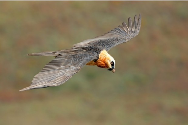 Bone-crunching bearded vultures are also known as lammergeiers © EcoPic / iStock