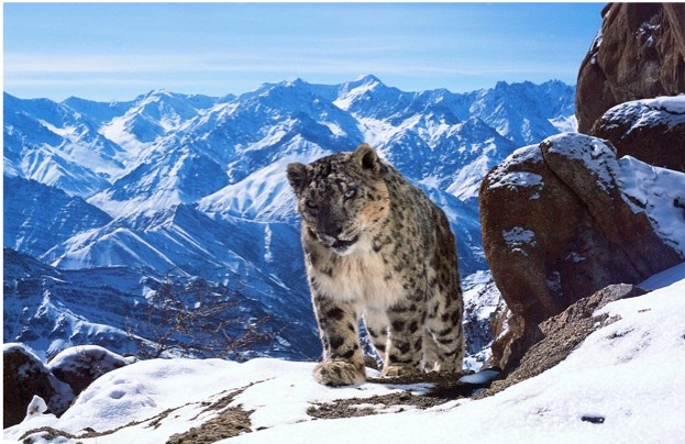 New generation remotely triggered cameras bring viewers up-close to Nepal's snow leopards in the BBC's new Planet Earth II series. © David Willis/BBC