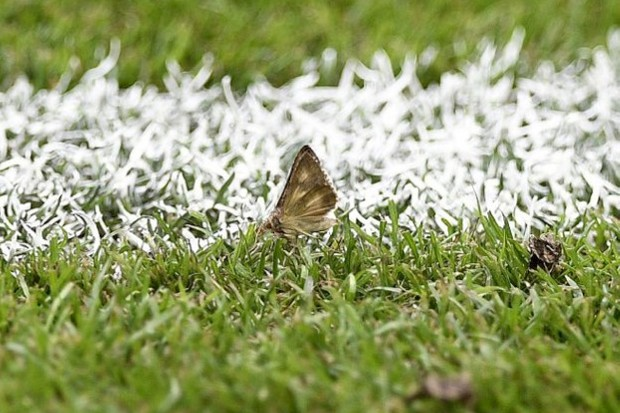 The Silver Y moth doesn't normally choose a football pitch as its ideal habitat.